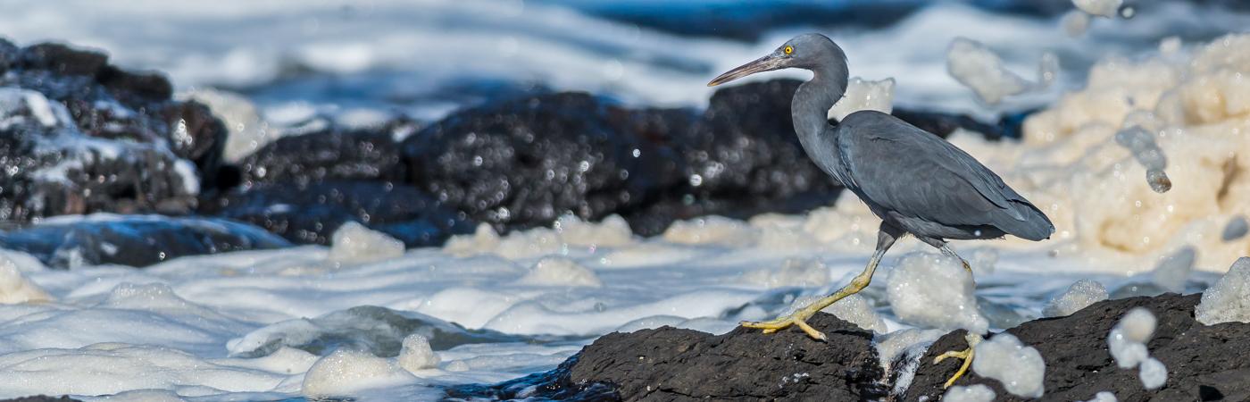 Eastern Reef Egret (Image ID 22519)