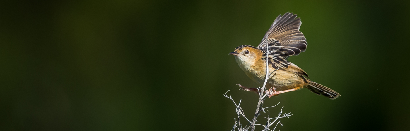 Golden-headed Cisticola (Image ID 22769)