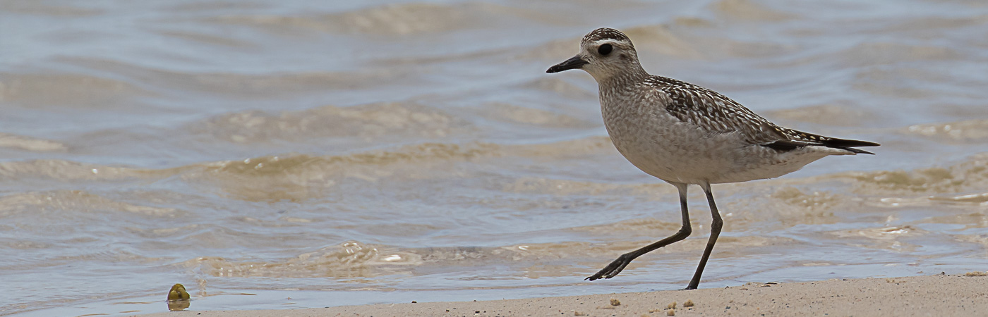 Grey Plover (Image ID 22862)