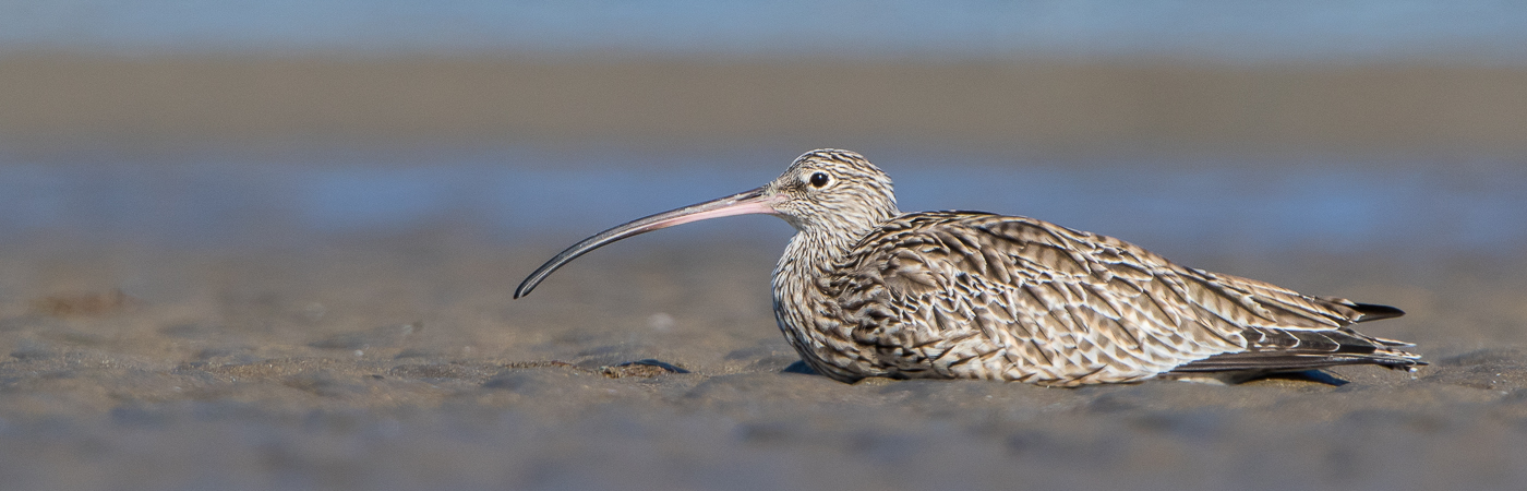 Eastern Curlew (Image ID 23576)