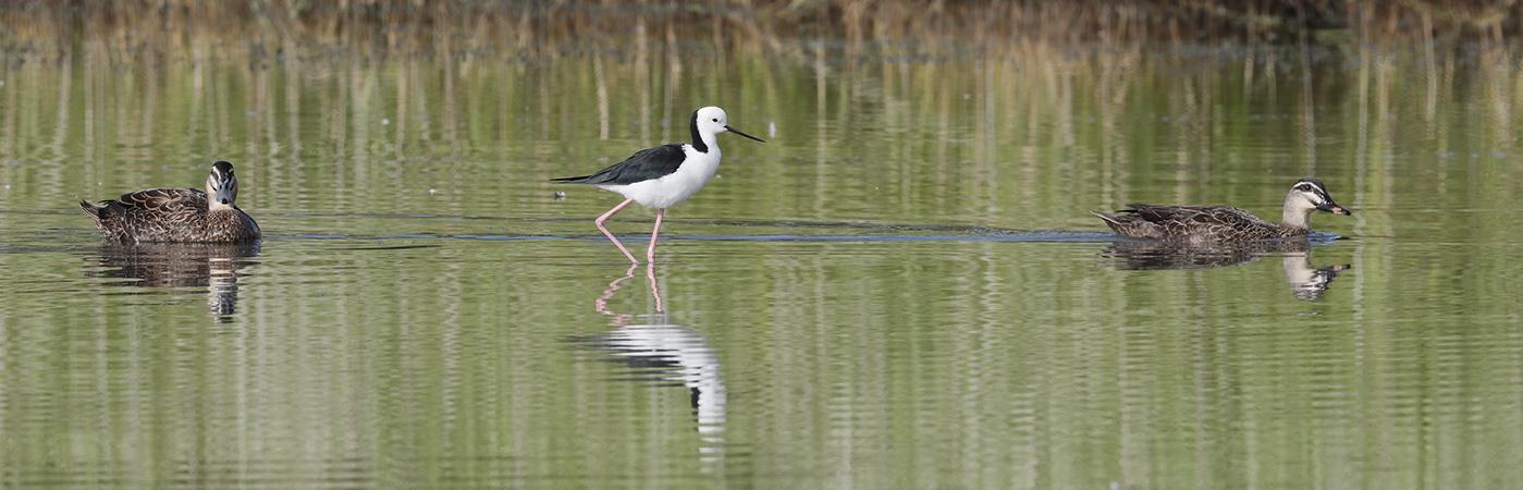 Pied Stilt, Pacific Black Duck (Image ID 24271)