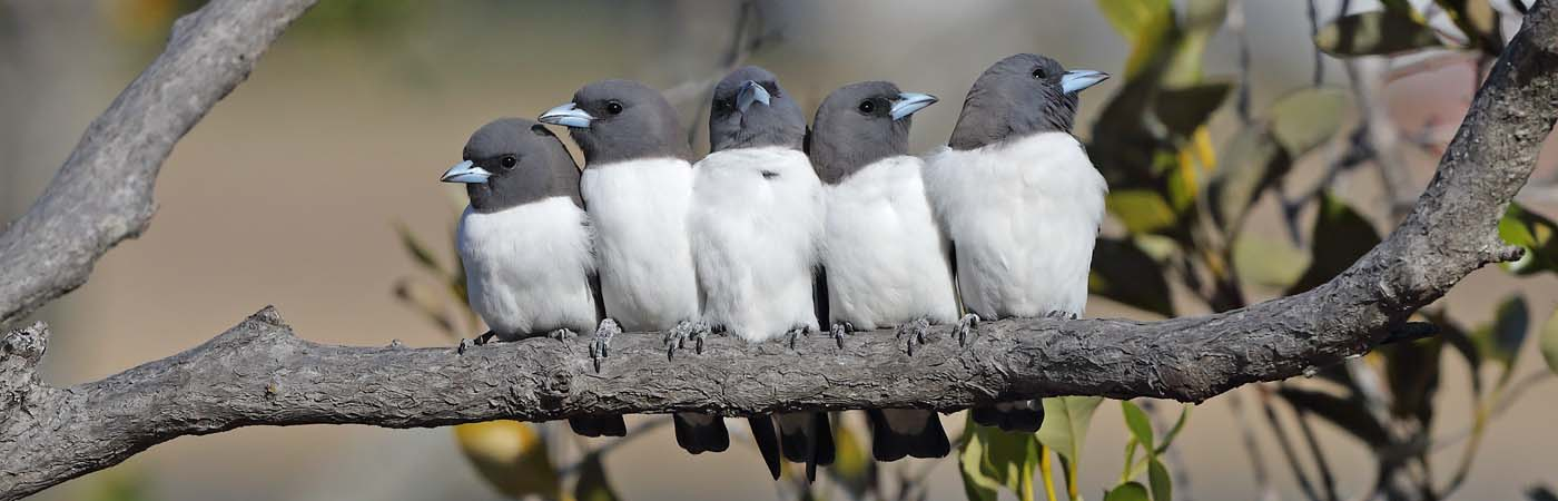 White-breasted Woodswallow (Image ID 24463)