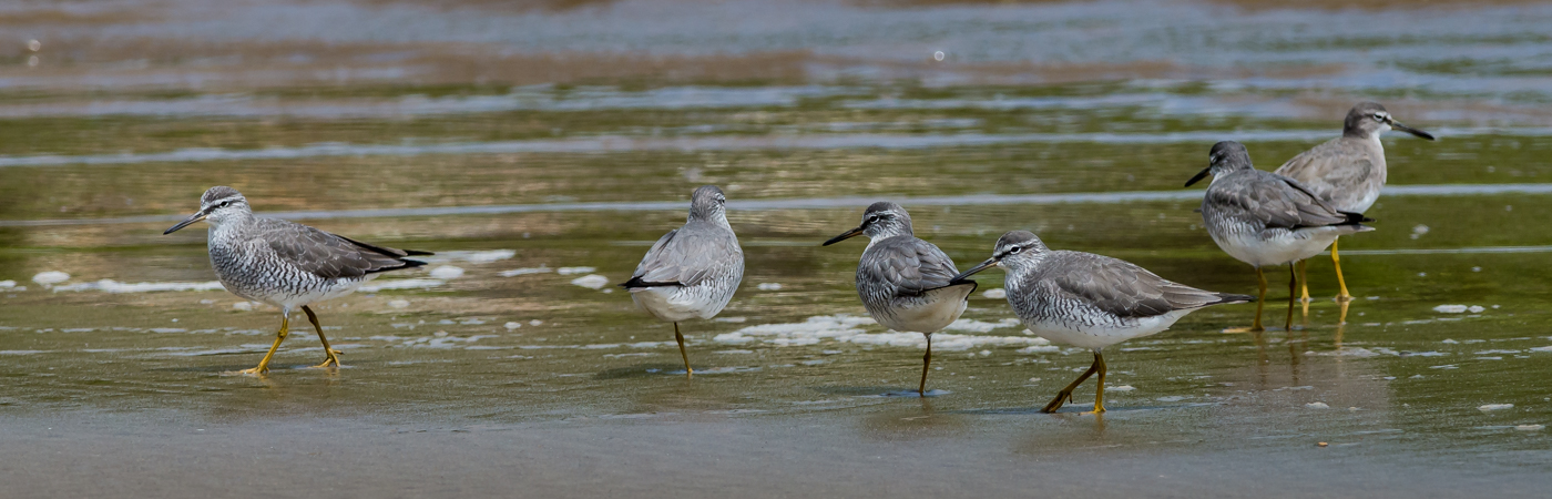 Grey-tailed Tattler (Image ID 24940)