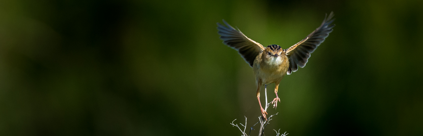 Golden-headed Cisticola (Image ID 25116)