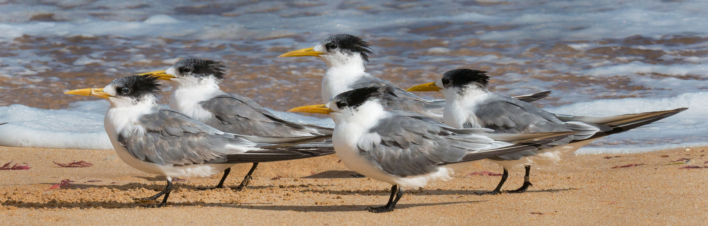 Crested Tern (Image ID 25323)