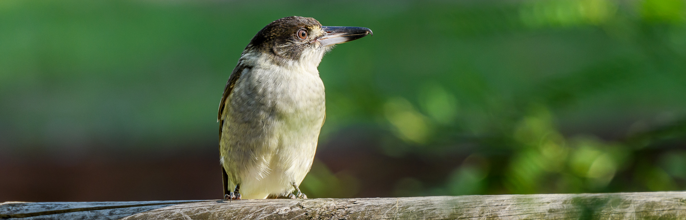 Grey Butcherbird (Image ID 25326)
