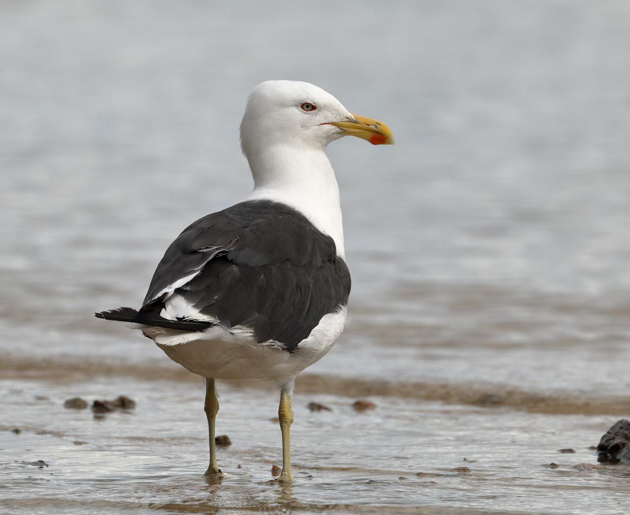 Kelp Gull (Image ID 25366)