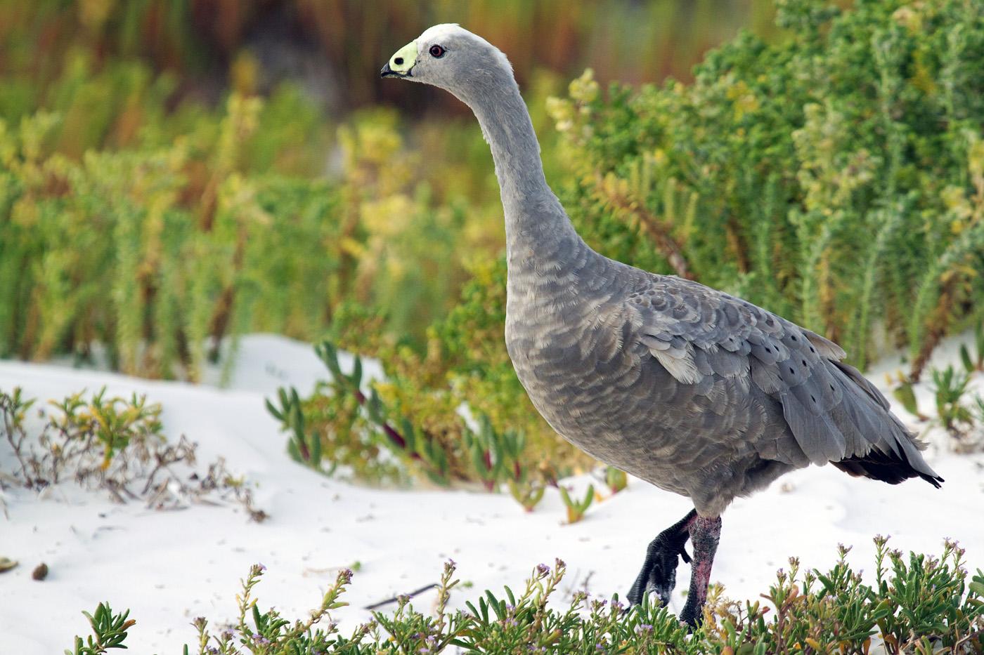 Cape Barren Goose (Image ID 25973)