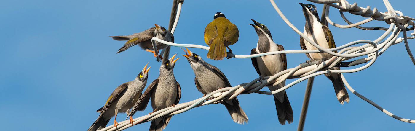Blue-faced Honeyeater, Noisy Miner (Image ID 26243)