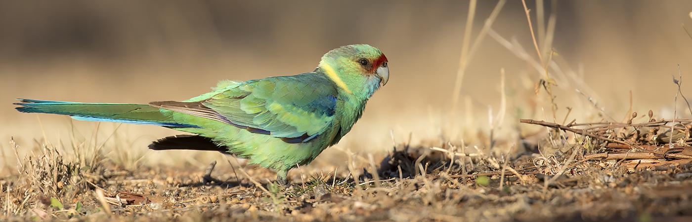 Australian Ringneck (Image ID 26389)