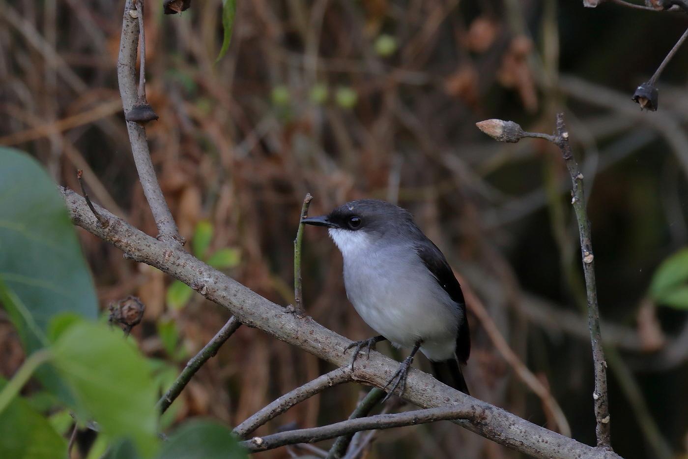 Mangrove Robin