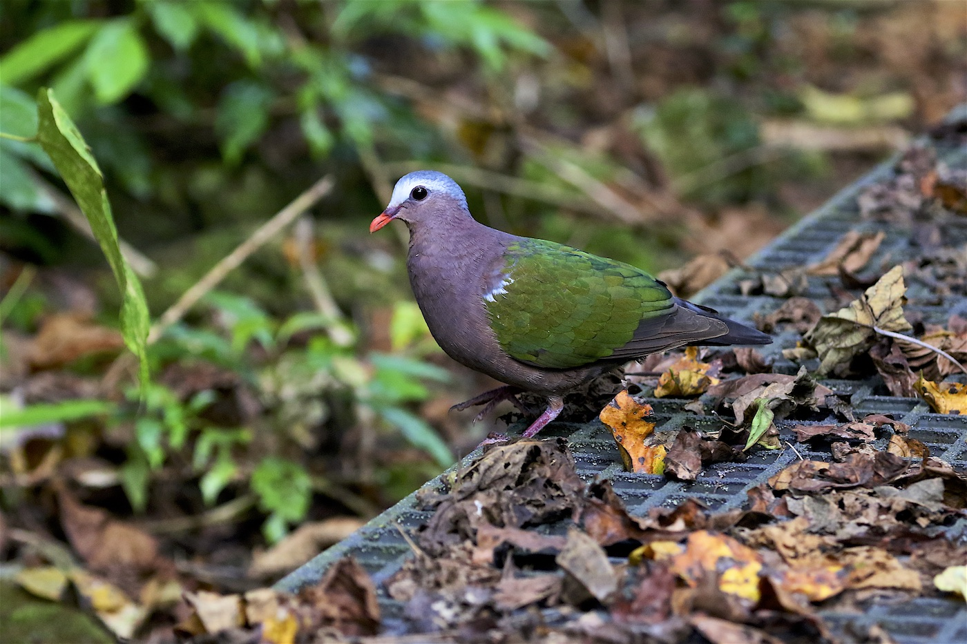 Grey-capped Emerald-Dove