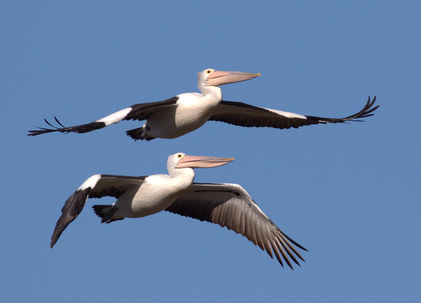 Australian Pelican (Image ID 27153)
