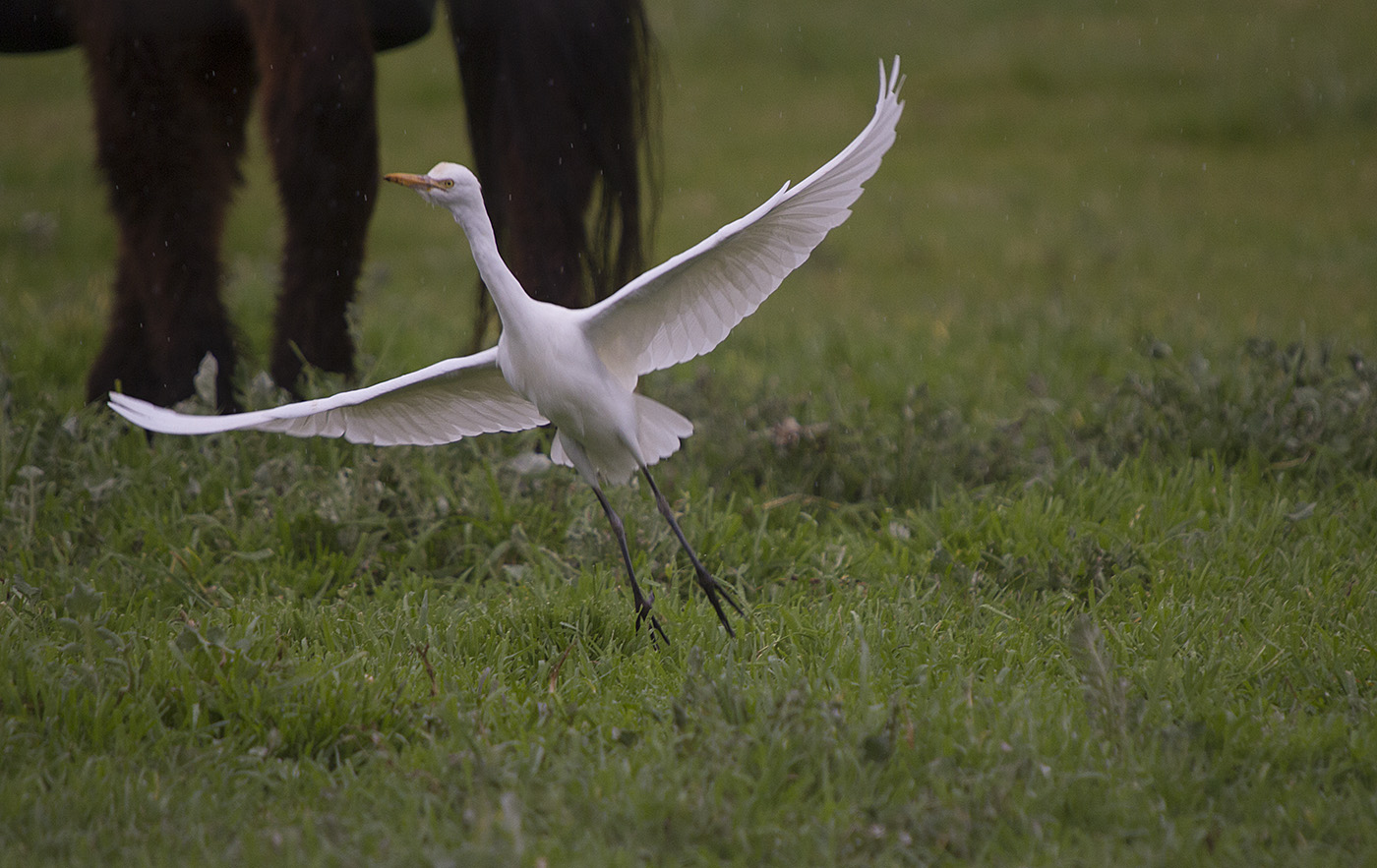 Cattle Egret (Image ID 26979)
