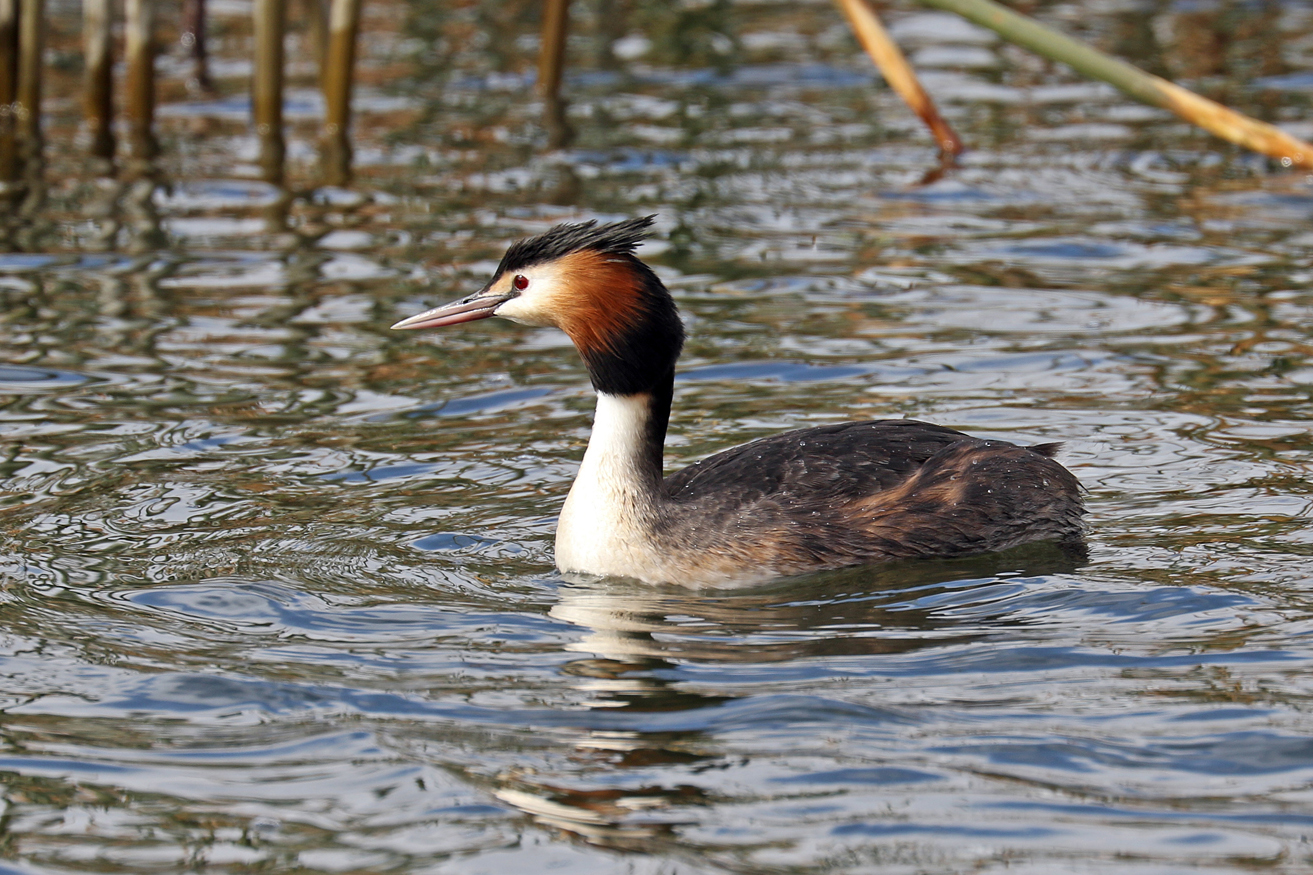 Great Crested Grebe (Image ID 27329)