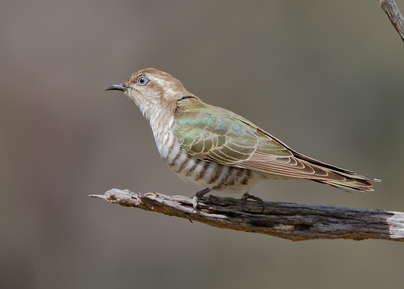 Horsfield's Bronze-Cuckoo (Image ID 27602)