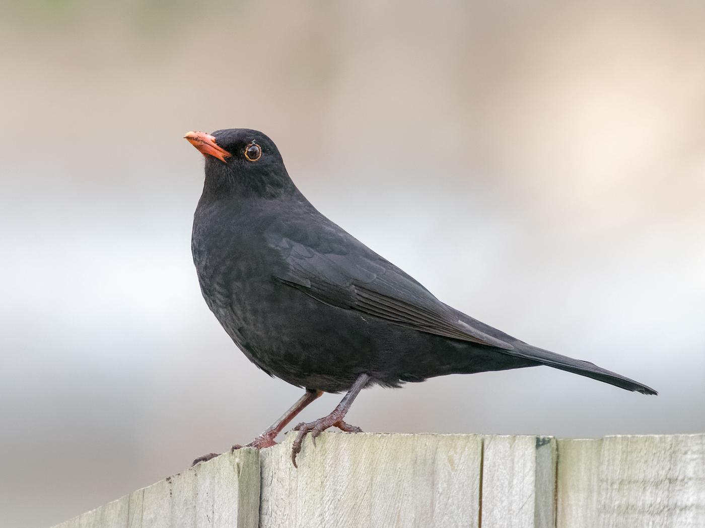 Common Blackbird (Image ID 27434)