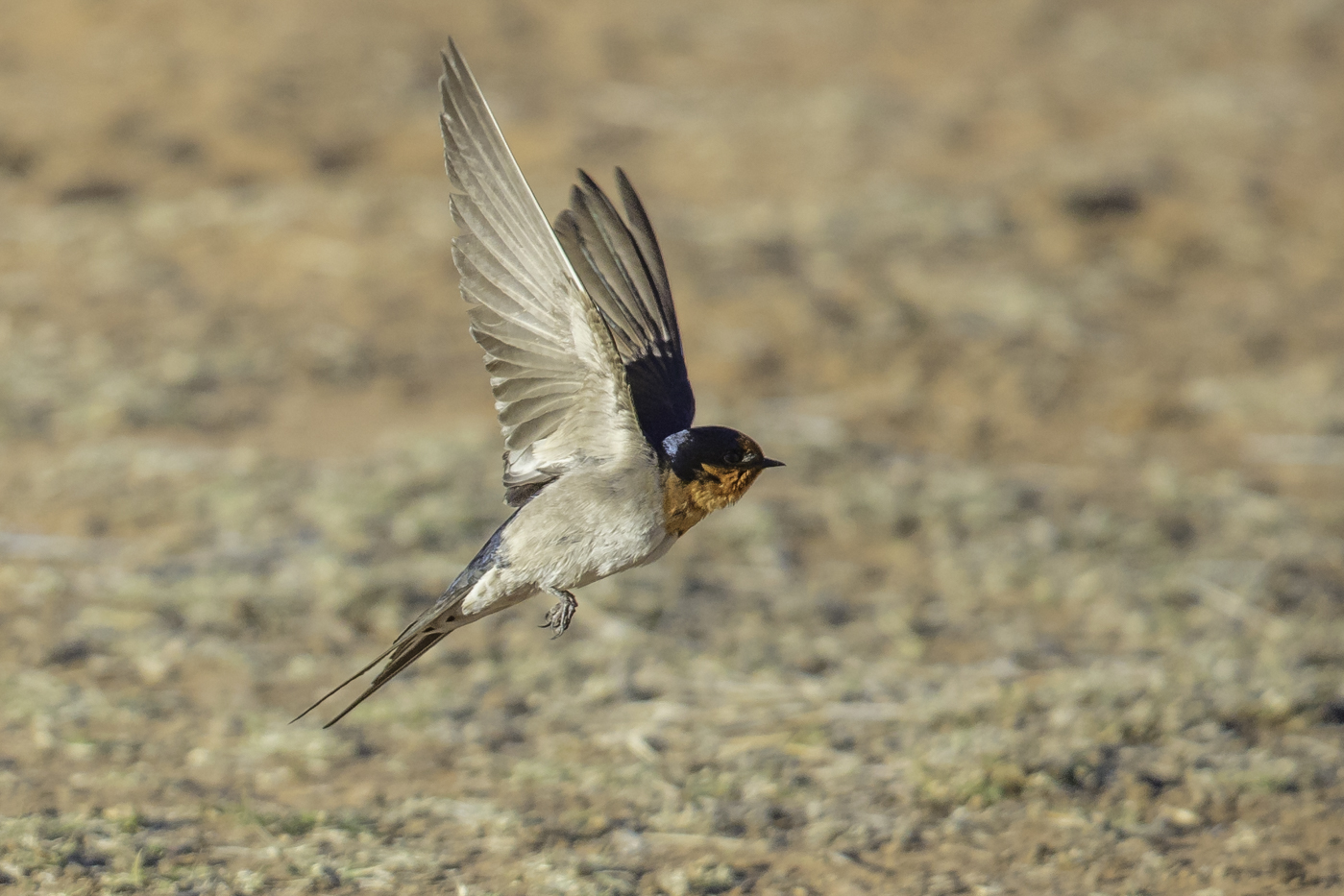 Welcome Swallow (Image ID 27289)