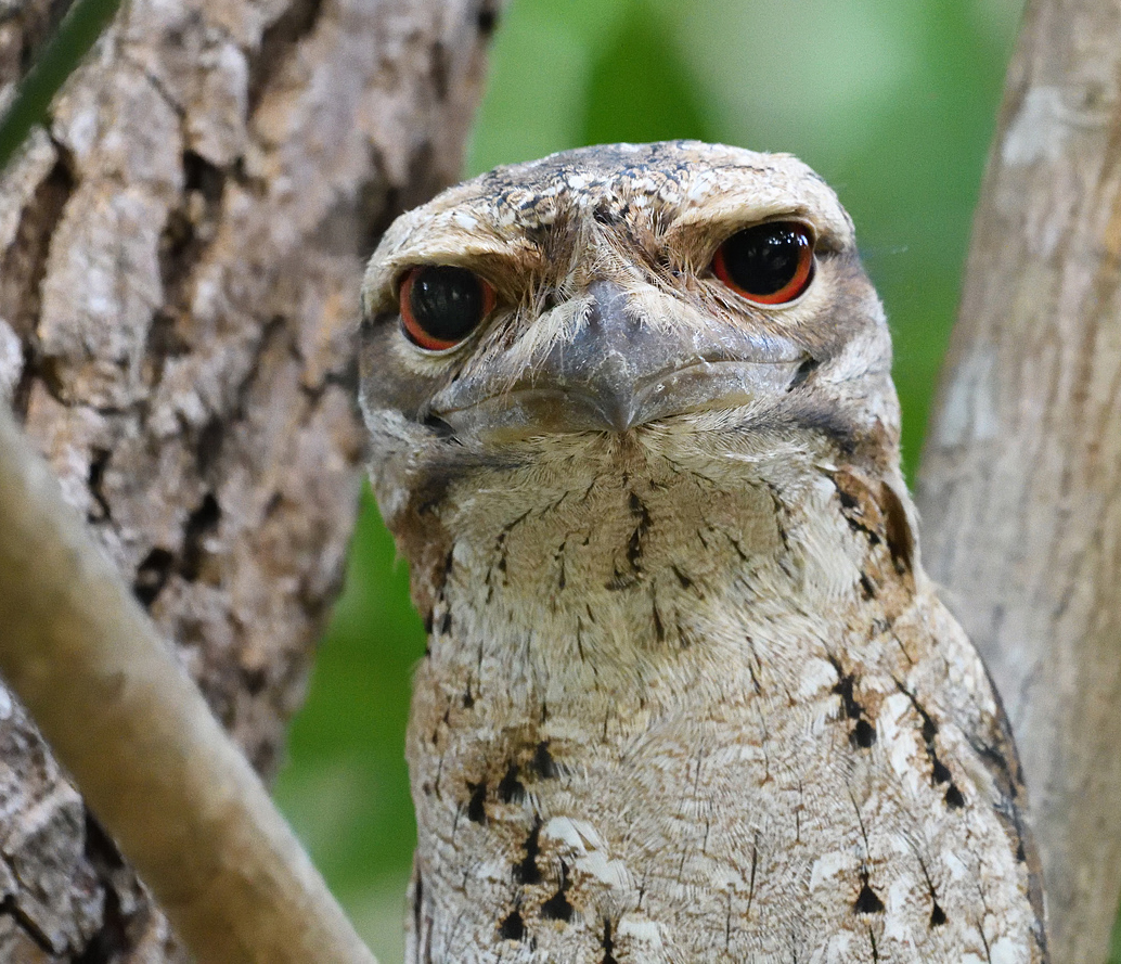 Papuan Frogmouth (Image ID 27875)