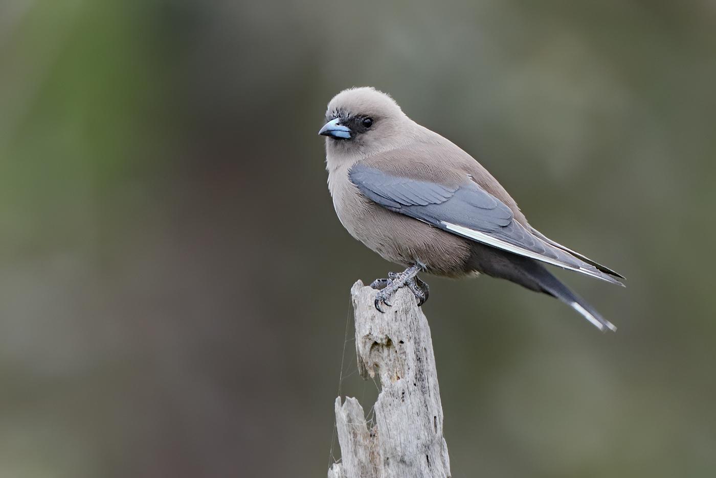 Dusky Woodswallow (Image ID 28034)