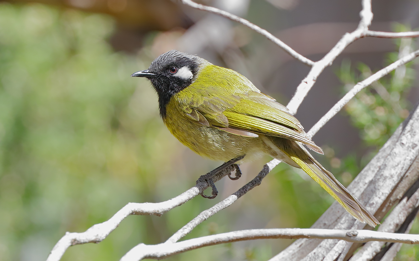 White-eared Honeyeater (Image ID 28033)