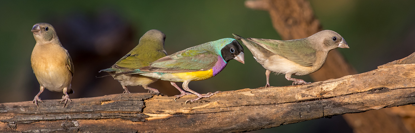 Gouldian Finch (Image ID 28168)