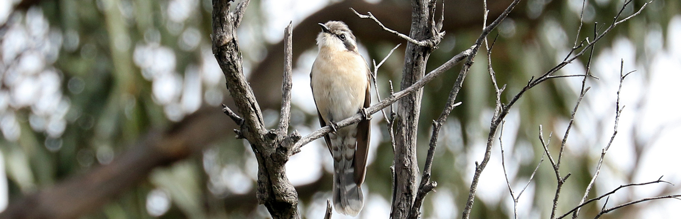 Black-eared Cuckoo (Image ID 28118)