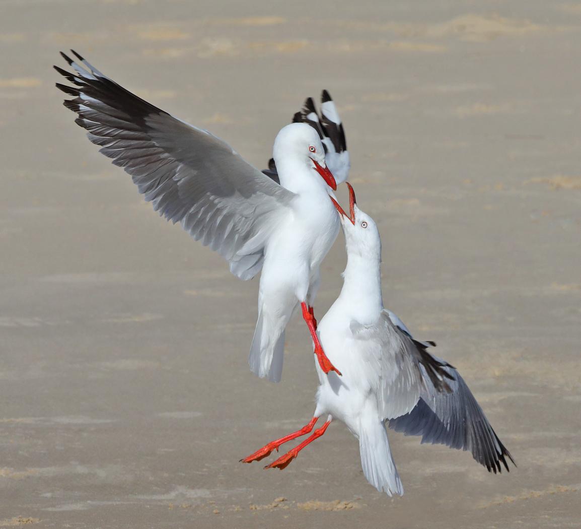 Silver Gull (Image ID 28476)