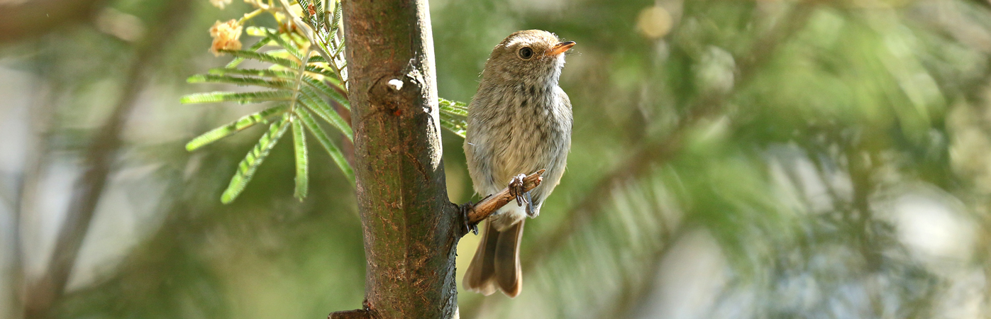 Brown Thornbill (Image ID 28509)