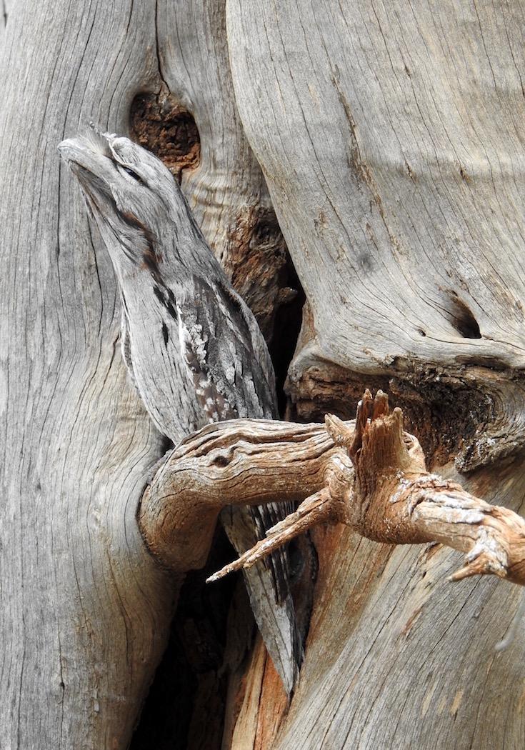 Tawny Frogmouth