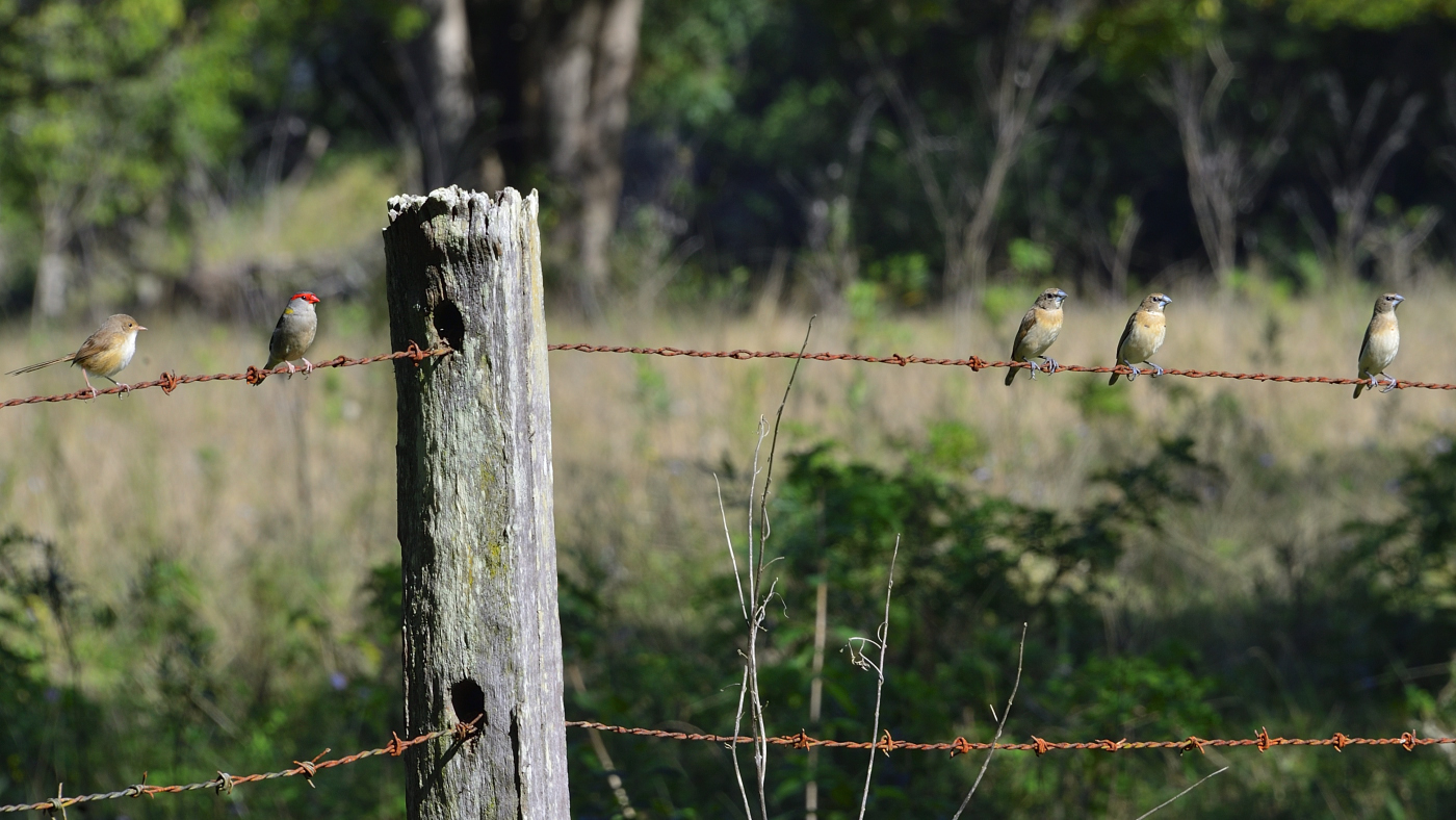 Chestnut-breasted Mannikin, Red-backed Fairy-wren, Red-browed Finch