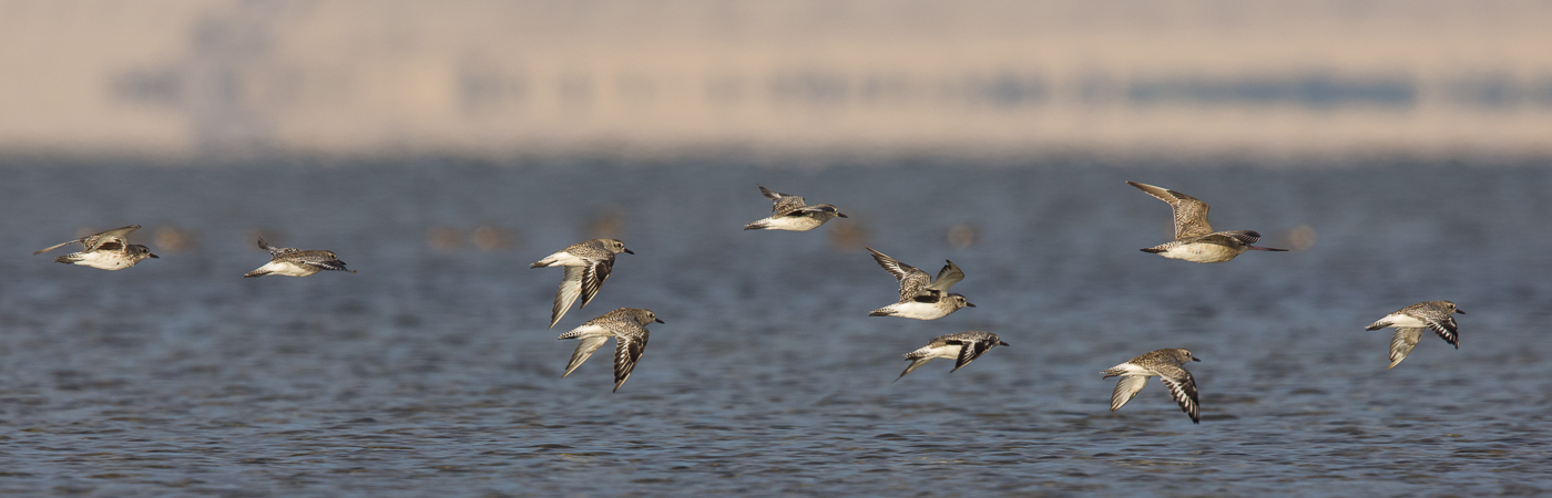 Bar-tailed Godwit, Grey Plover (Image ID 28779)