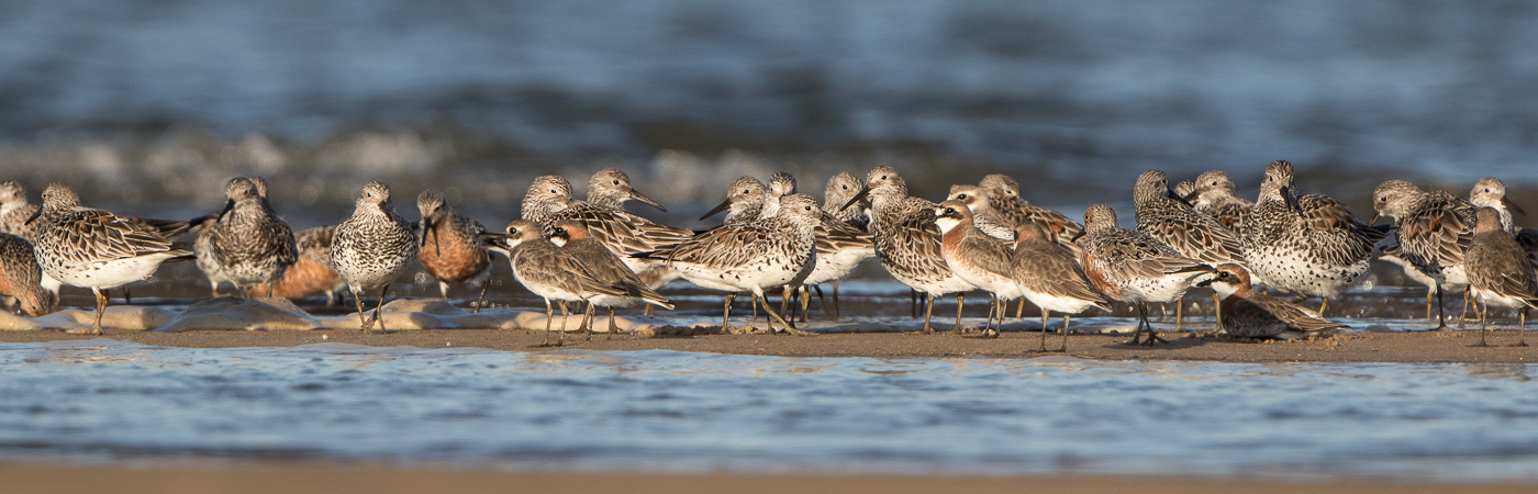 Great Knot, Lesser Sand Plover, Red Knot