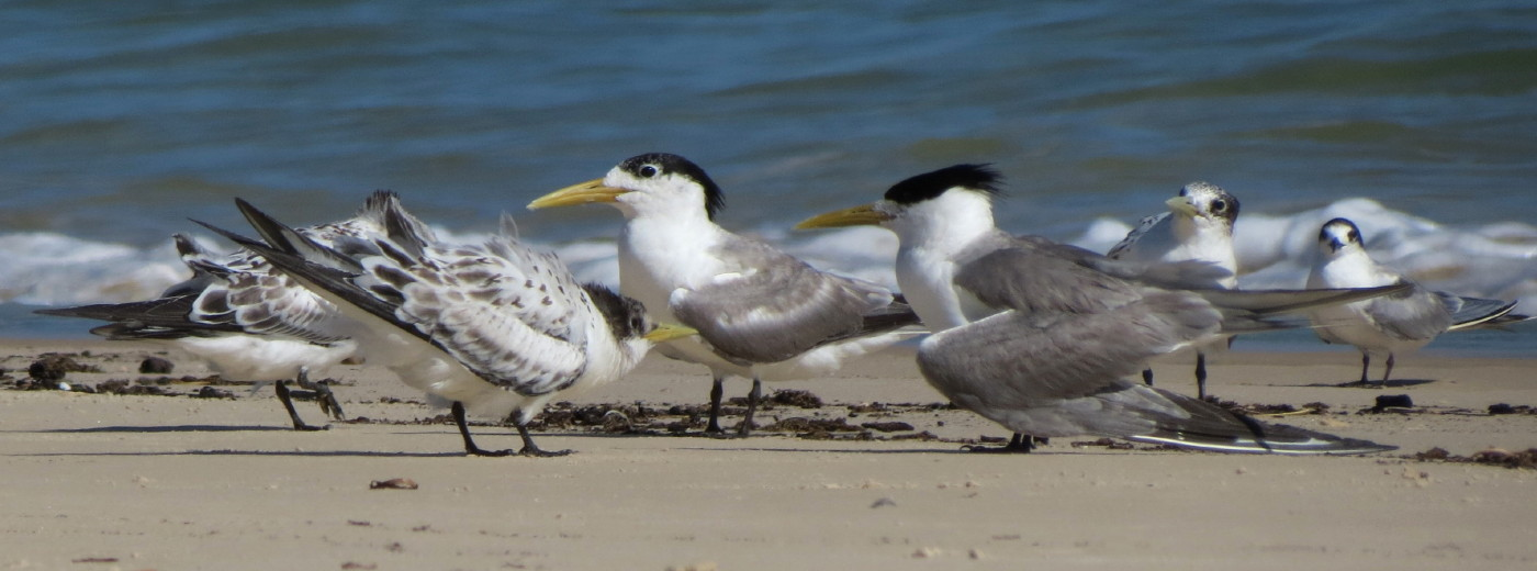 Common Tern, Crested Tern