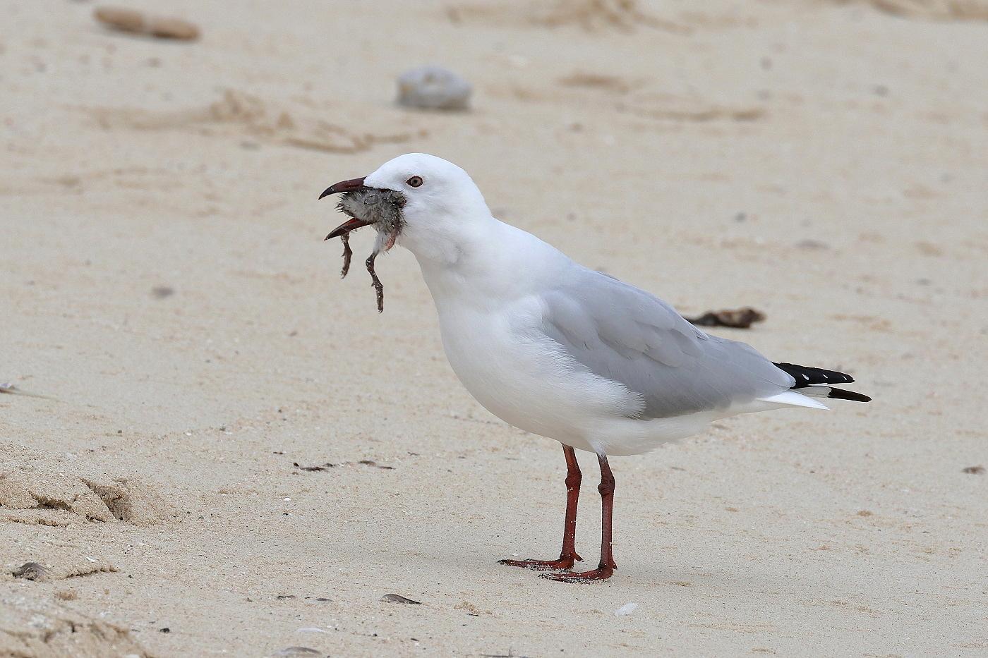 Silver Gull, Sooty Tern