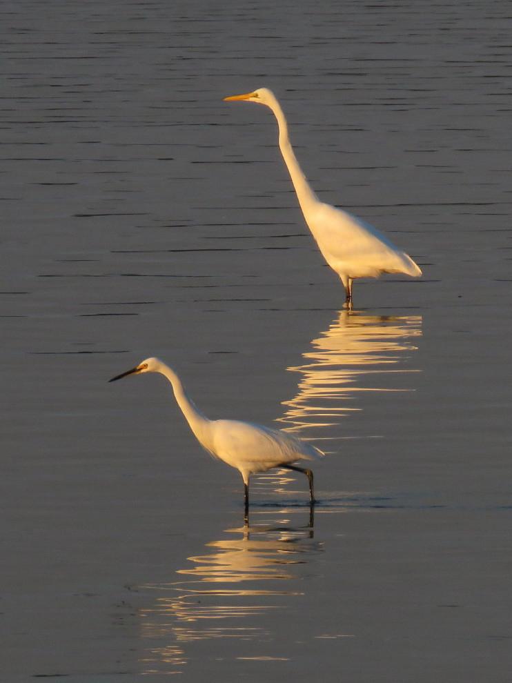 Great Egret, Little Egret