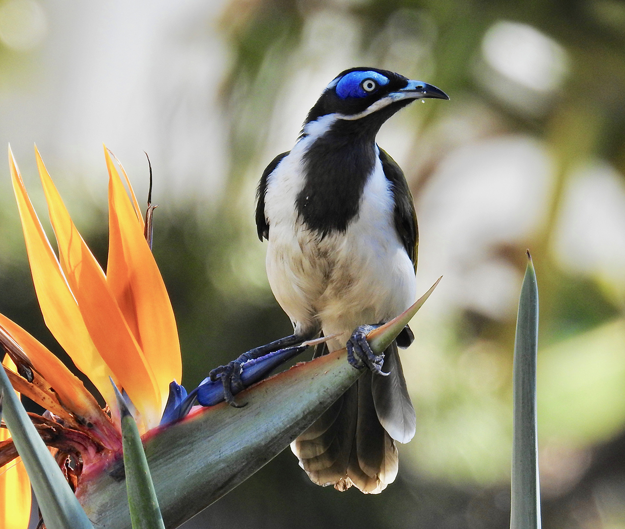Blue-faced Honeyeater (Image ID 29786)