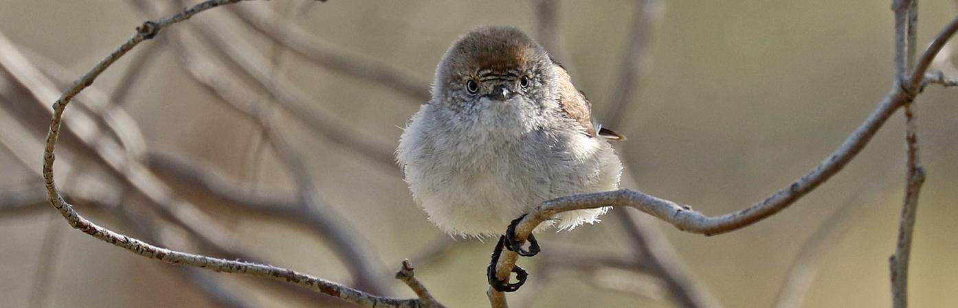 Chestnut-rumped Thornbill (Image ID 29955)