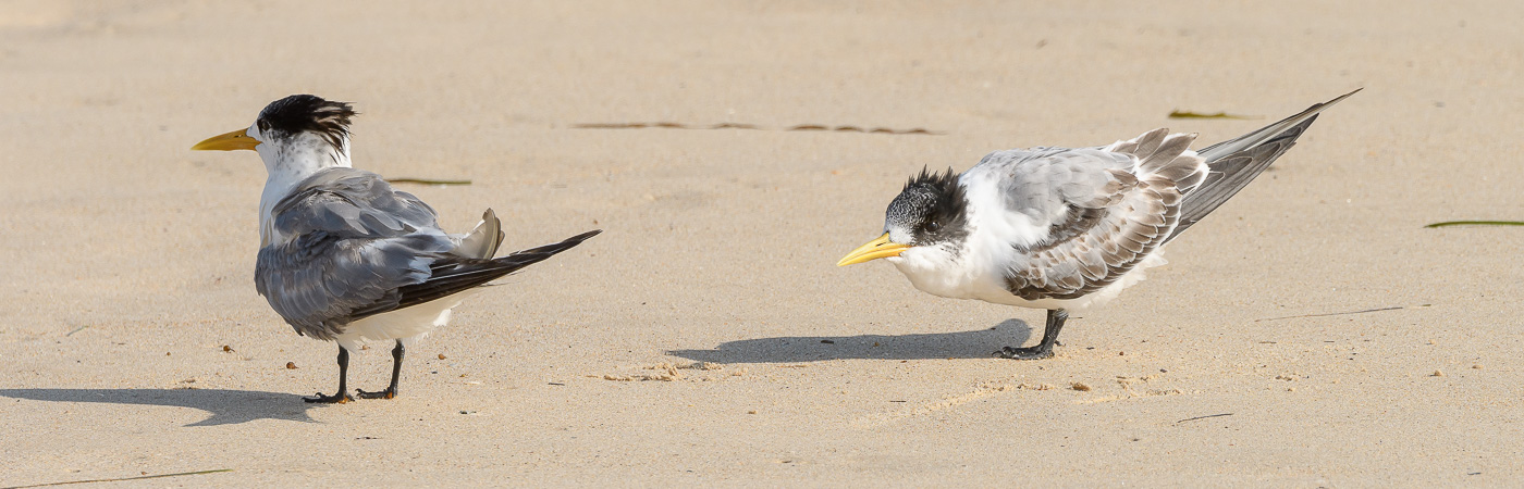 Greater Crested Tern (Image ID 29864)