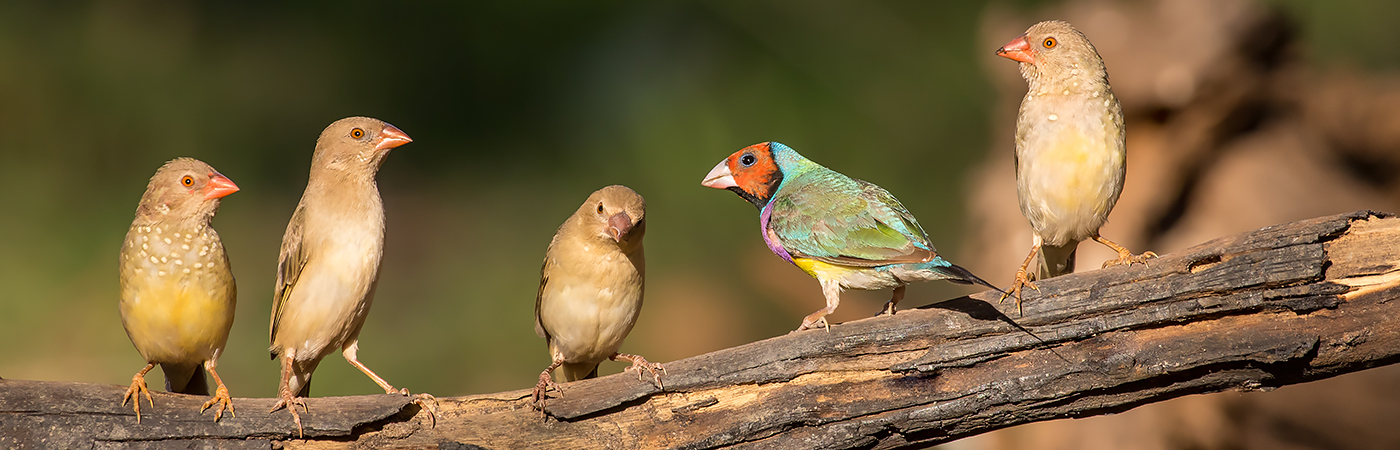 Star Finch,Gouldian Finch (Image ID 29868)