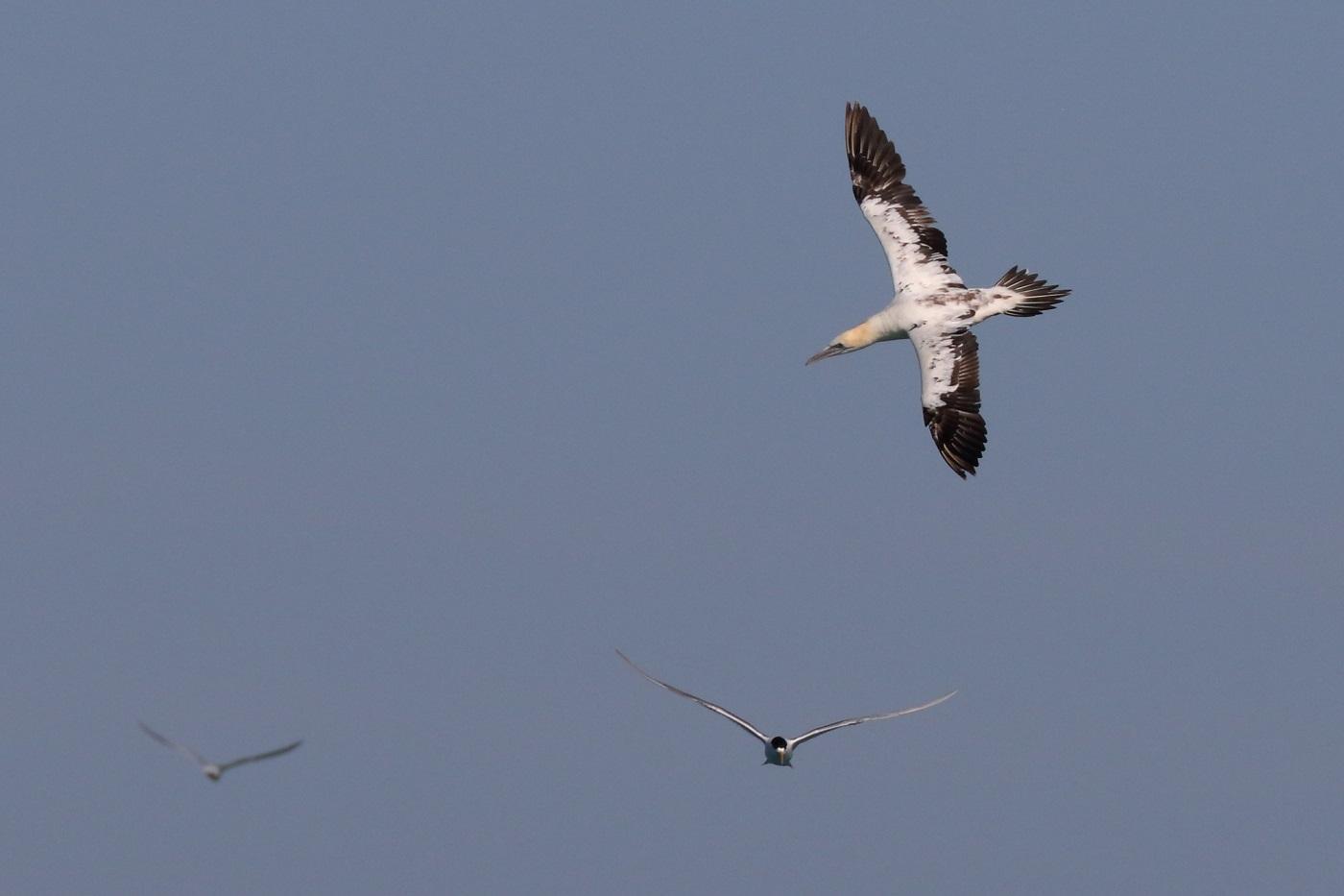 Australasian Gannet, Crested Tern (Image ID 30103)