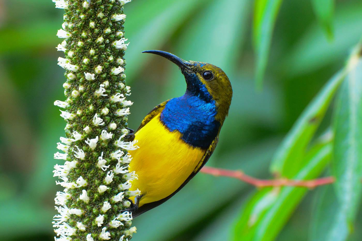 Olive-backed Sunbird (Image ID 30235)