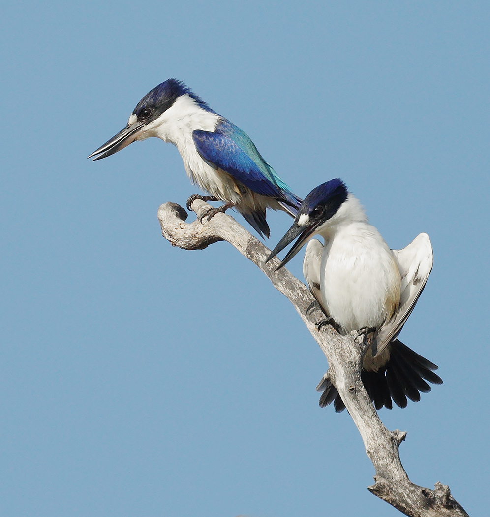 Forest Kingfisher (Image ID 30113)