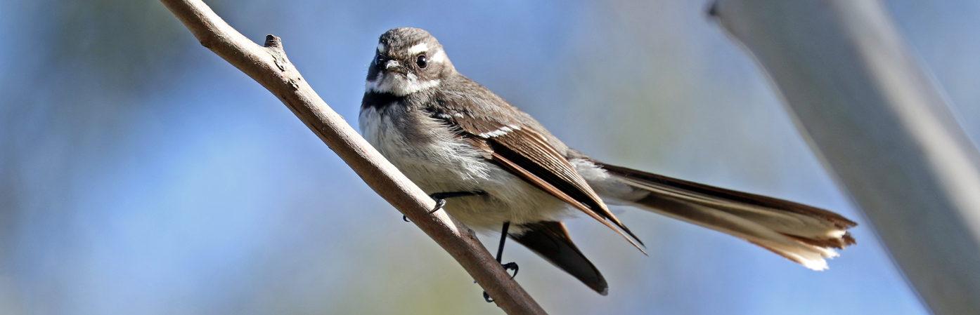 Grey Fantail (Image ID 30079)