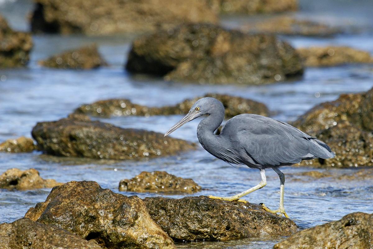 Eastern Reef Egret (Image ID 30684)