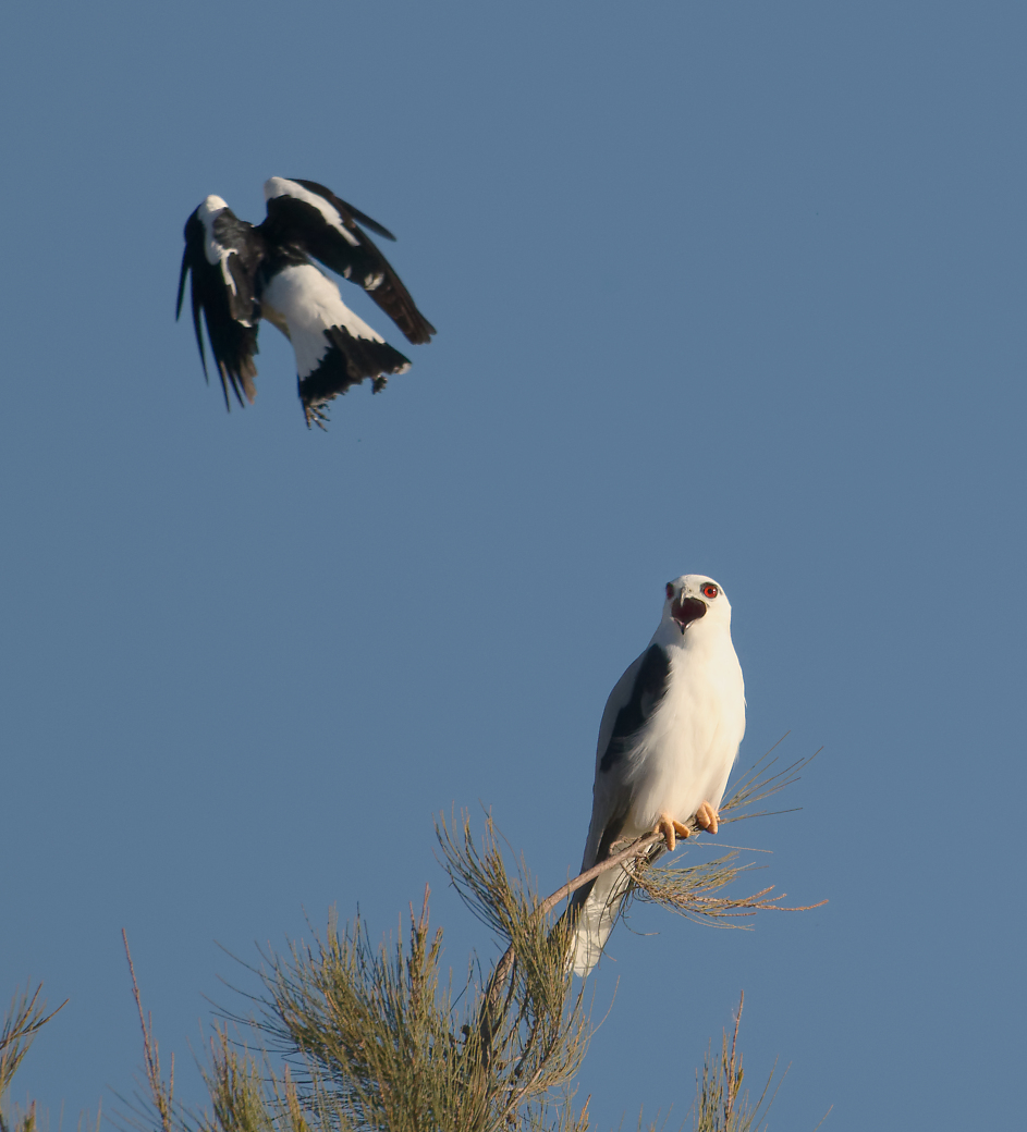 Black-shouldered Kite, Magpie-lark