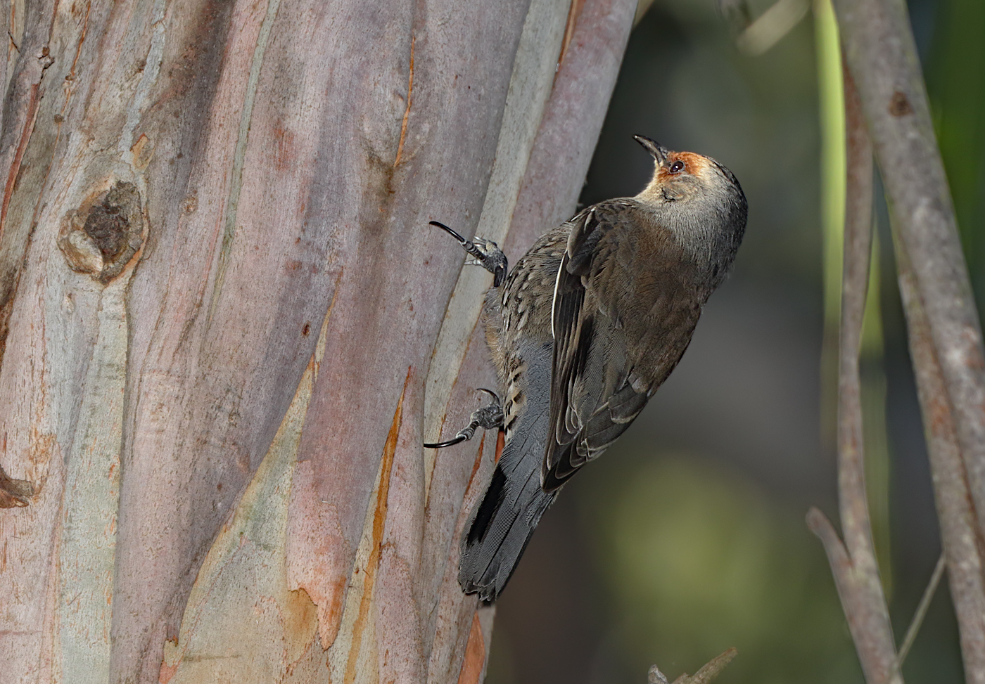 Red-browed Treecreeper