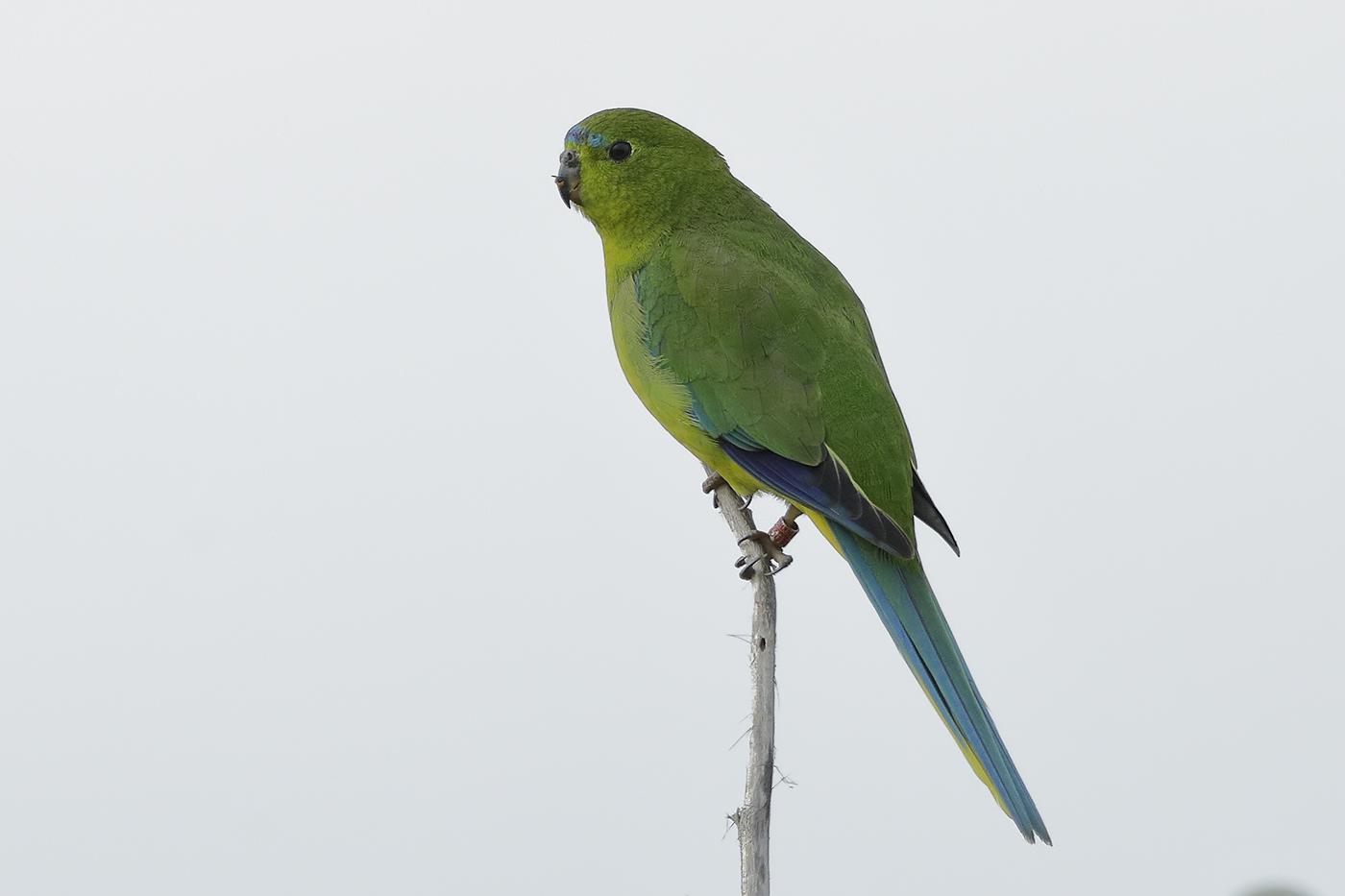 Orange-bellied Parrot (Image ID 30985)