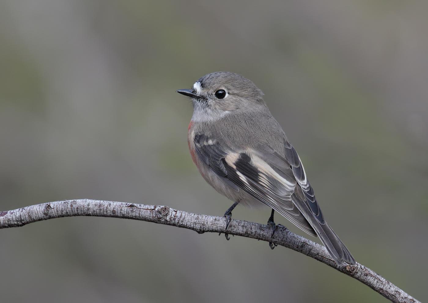 Scarlet Robin (Image ID 30879)