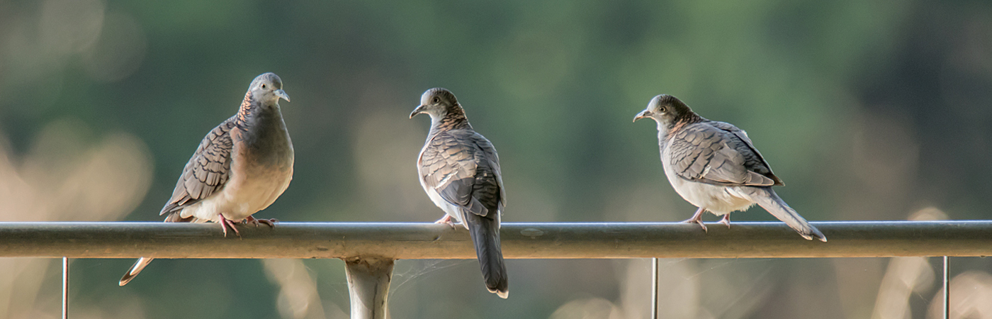 Bar-shouldered Dove (Image ID 31003)